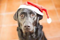 Ritratto del cane con un cappello di Santa Vista frontale di un labrador nero Immagini Stock Libere da Diritti