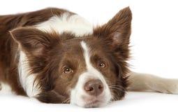 Ritratto del cane del confine delle collie sopra fondo bianco Fotografia Stock