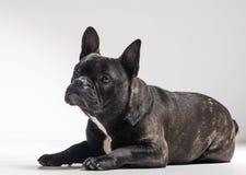 Ritratto del cane del bulldog francese Fotografia Stock