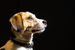 Ritratto del cane del cane da lepre fotografia stock