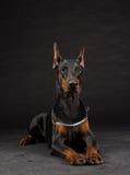 Ritratto del cane del doberman sul nero immagine stock