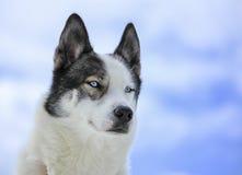 Ritratto del cane del husky fotografia stock libera da diritti