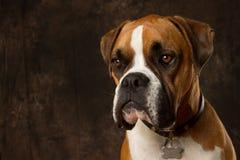 Ritratto del cane del pugile Immagini Stock Libere da Diritti