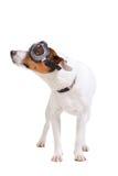 Ritratto del cane del Terrier del Jack Russel Fotografie Stock Libere da Diritti