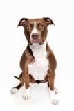 Ritratto del cane del toro di Pitt che si siede nel fondo bianco Fotografia Stock Libera da Diritti