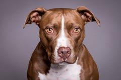 Ritratto del cane del toro di Pitt nel fondo grigio Fotografie Stock Libere da Diritti
