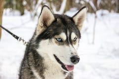Ritratto del cane della razza del husky nell'inverno immagini stock libere da diritti