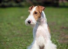 Ritratto del cane della volpe-terier Fotografia Stock Libera da Diritti