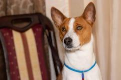 Ritratto del cane di basenji che si siede su una sedia umana immagine stock