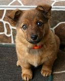 Ritratto del cane di Brown Immagini Stock
