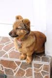 Ritratto del cane di Brown Fotografia Stock Libera da Diritti