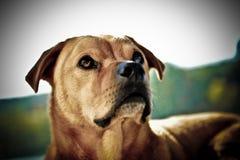 Ritratto del cane di Brown Fotografia Stock