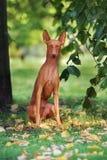 Ritratto del cane di Etna del dell di Cirneco Fotografia Stock Libera da Diritti