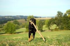 Ritratto del cane di funzionamento con il bastone Immagini Stock Libere da Diritti