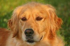 Ritratto 2 del cane di golden retriever Fotografia Stock