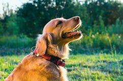 Ritratto del cane di golden retriever nel profilo sulla natura fotografia stock libera da diritti
