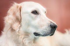 Ritratto del cane di golden retriever su fondo rossastro fotografia stock