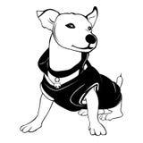 Ritratto del cane di Jack Russell Terrier Terrier di Jack Russell isolato su fondo bianco Immagine Stock