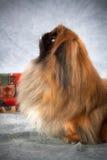 Ritratto del cane di Pekingese Fotografia Stock Libera da Diritti