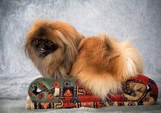 Ritratto del cane di Pekingese Fotografie Stock Libere da Diritti