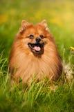Ritratto del cane di Pomeranian Fotografie Stock