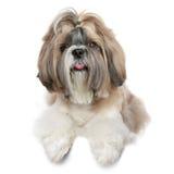 Ritratto del cane di tzu di Shih su bianco Fotografie Stock Libere da Diritti