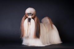 Ritratto del cane di tzu di Shih allo studio Immagine Stock Libera da Diritti