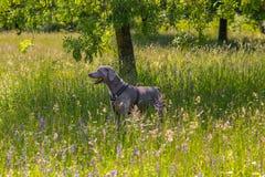 Ritratto del cane di Weimaraner nei campi immagine stock