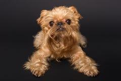 Ritratto del cane, grifone di Bruxelles della razza Fotografia Stock