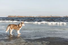 Ritratto del cane del husky immagini stock