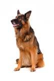 Ritratto del cane isolato su bianco Fotografie Stock Libere da Diritti