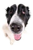 Ritratto del cane isolato su bianco Fotografia Stock
