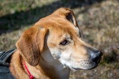 Ritratto del cane del labrador Immagini Stock Libere da Diritti