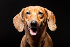 Ritratto del cane marrone allegro del bassotto tedesco isolato sul nero Fotografia Stock