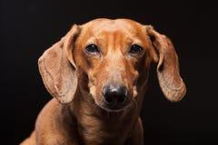 Ritratto del cane marrone sveglio del bassotto tedesco isolato sul nero Fotografie Stock