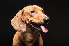Ritratto del cane marrone sveglio del bassotto tedesco isolato sul nero Immagini Stock