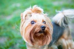 Ritratto del cane maschio o femminile dell'Yorkshire terrier immagini stock libere da diritti
