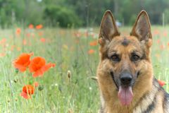 Ritratto del cane pastore della Germania Immagine Stock