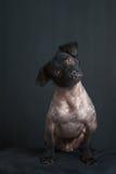 Ritratto del cane peruviano misto Immagine Stock Libera da Diritti