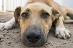 Ritratto del cane premuroso Fotografia Stock