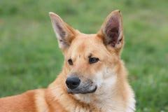 Ritratto del cane rosso Fotografia Stock