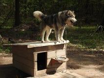 Ritratto del cane splendido del husky siberiano che sta nella foresta incantevole luminosa di caduta fotografia stock libera da diritti
