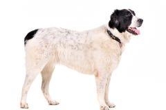 Ritratto del cane su bianco Fotografie Stock