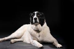 Ritratto del cane sul nero Immagini Stock Libere da Diritti