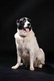 Ritratto del cane sul nero Fotografia Stock Libera da Diritti