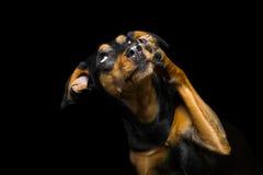 Ritratto del cane sveglio della razza della miscela su fondo nero immagini stock