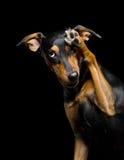 Ritratto del cane sveglio della razza della miscela su fondo nero fotografia stock libera da diritti