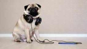 Ritratto del cane sveglio e divertente nella musica d'ascolto delle cuffie, cane sorpreso del carlino video d archivio