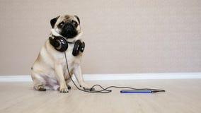 Ritratto del cane sveglio e divertente nella musica d'ascolto delle cuffie, cane sorpreso del carlino stock footage
