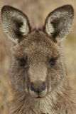 Ritratto del canguro Fotografia Stock Libera da Diritti